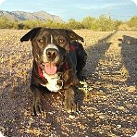 Adopt A Pet :: Maya - Chandler, AZ