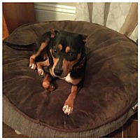 Adopt A Pet :: Candy - Royal Palm Beach, FL