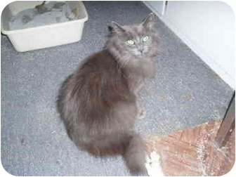 Domestic Longhair Cat for adoption in Hamburg, New York - Dexie