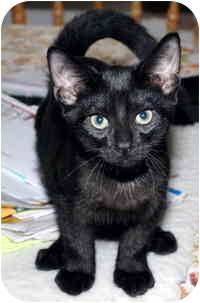 Oriental Kitten for adoption in Troy, Michigan - Chico