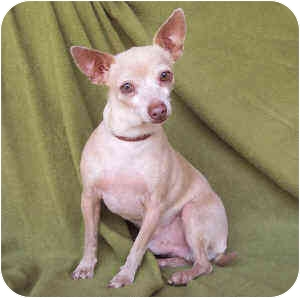 Chihuahua Mix Dog for adoption in Albuquerque, New Mexico - Foster