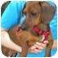 Photo 3 - Dachshund Dog for adoption in Humble, Texas - JR