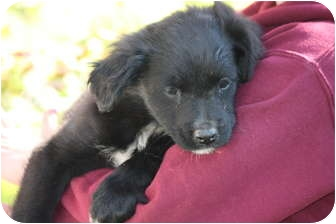 Border Collie/Golden Retriever Mix Puppy for adoption in Prince William County, Virginia - june