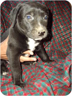 Labrador Retriever/American Pit Bull Terrier Mix Puppy for adoption in West Los Angeles, California - Teddy