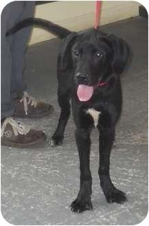Labrador Retriever Mix Puppy for adoption in Belvidere, Illinois - Daniel
