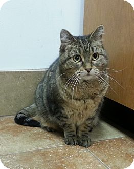 Domestic Shorthair Cat for adoption in Cincinnati, Ohio - Pene