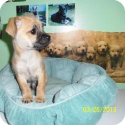 Chihuahua/Terrier (Unknown Type, Small) Mix Puppy for adoption in Shawnee Mission, Kansas - Emmit Bean
