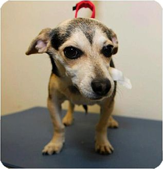 Dachshund/Chihuahua Mix Dog for adoption in Los Angeles, California - COLLETTE