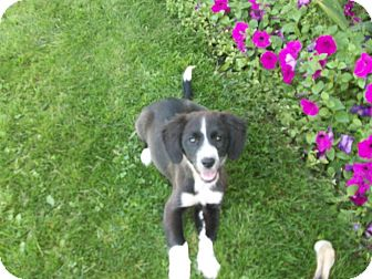Border Collie/Beagle Mix Puppy for adoption in Liberty Center, Ohio - France