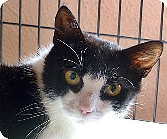 Domestic Shorthair Cat for adoption in Santa Fe, New Mexico - Sallie