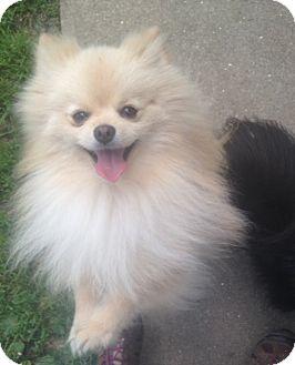 Pomeranian Mix Dog for adoption in New Milford, Connecticut - Zuko