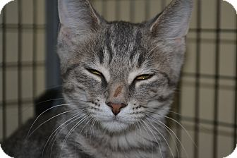 Domestic Shorthair Cat for adoption in Edwardsville, Illinois - Quincey