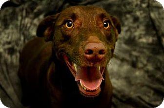 Labrador Retriever Mix Dog for adoption in Fort Smith, Arkansas - Caspian