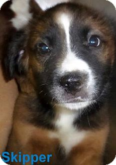 Collie Mix Puppy for adoption in Georgetown, South Carolina - Skipper