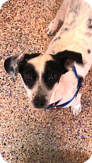 Jack Russell Terrier Mix Puppy for adoption in Thousand Oaks, California - Sassy
