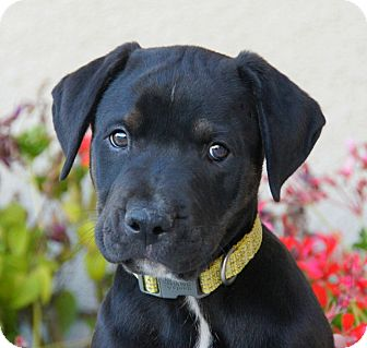 American Staffordshire Terrier/German Shepherd Dog Mix Puppy for adoption in Thousand Oaks, California - Tate