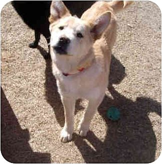 Shepherd (Unknown Type)/German Shepherd Dog Mix Dog for adoption in Dodge City, Kansas - Dusty