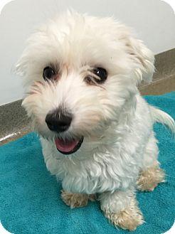 Maltese/Poodle (Miniature) Mix Dog for adoption in Fairfax, Virginia - Cashmere