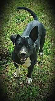 American Staffordshire Terrier Dog for adoption in Salisbury, North Carolina - Shorty