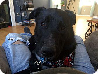 Labrador Retriever Mix Dog for adoption in kennebunkport, Maine - Hank - in Maine