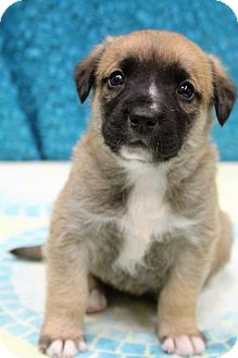 Labrador Retriever/German Shepherd Dog Mix Puppy for adoption in Staunton, Virginia - Charlie