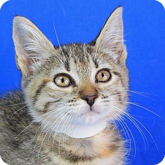 Domestic Shorthair Kitten for adoption in Carencro, Louisiana - Claudia