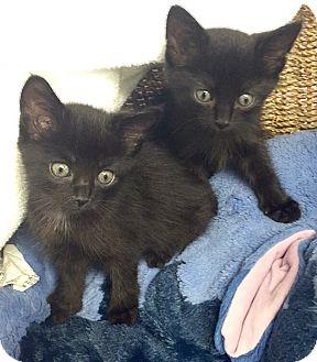 Domestic Shorthair Kitten for adoption in Riverside, California - Minnie & Belle