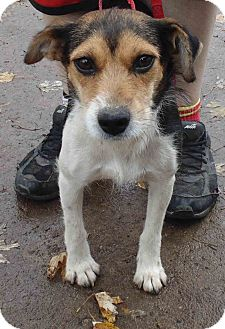 Beagle/Terrier (Unknown Type, Small) Mix Dog for adoption in Washington court House, Ohio - Pumpkin