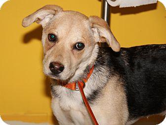 Shepherd (Unknown Type)/Beagle Mix Dog for adoption in Marietta, Ohio - Daisy