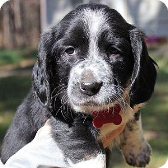 Spaniel (Unknown Type)/Beagle Mix Puppy for adoption in Athens, Georgia - Grace