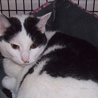 Domestic Shorthair Cat for adoption in Muscatine, Iowa - Bolly