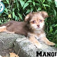 Adopt A Pet :: Mangus - Kimberton, PA