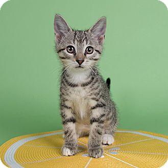 Domestic Shorthair Kitten for adoption in Wilmington, Delaware - Risk