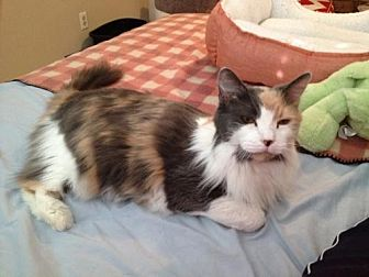 Persian Cat for adoption in Garland, Texas - Kelly