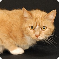 Domestic Shorthair Cat for adoption in Newland, North Carolina - Willow