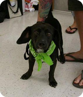 Dachshund/Terrier (Unknown Type, Medium) Mix Puppy for adoption in Cantonment, Florida - Jackson
