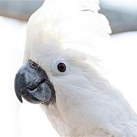 Cockatoo for adoption in Elizabeth, Colorado - Rico