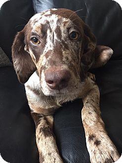 Labrador Retriever Mix Puppy for adoption in CUMMING, Georgia - Shayla