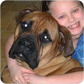 Bullmastiff Dog for adoption in Cedar Creek, Texas - Luke