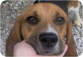 Beagle Dog for adoption in Indianapolis, Indiana - Todd