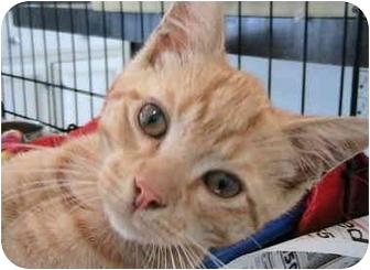 Japanese Bobtail Cat for adoption in Greensboro, North Carolina - Ringo