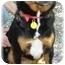 Photo 1 - Corgi/Rottweiler Mix Dog for adoption in Wyoming, Minnesota - Fergie