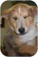 Australian Cattle Dog/Blue Heeler Mix Puppy for adoption in Summersville, West Virginia - Snaggles