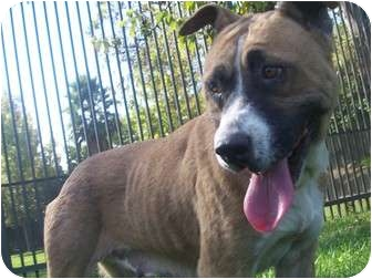 Boxer/Terrier (Unknown Type, Medium) Mix Dog for adoption in Los Angeles, California - May