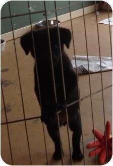 Labrador Retriever Mix Puppy for adoption in Arkadelphia, Arkansas - MAX
