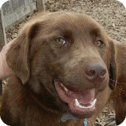 Labrador Retriever Mix Dog for adoption in Des Moines, Iowa - Shadow