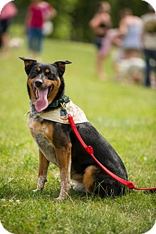 Australian Cattle Dog Mix Dog for adoption in Marion, Wisconsin - Levi