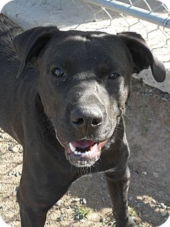 Pit Bull Terrier/American Staffordshire Terrier Mix Dog for adoption in Jerome, Idaho - Max # 5204