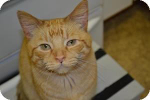 Domestic Mediumhair Cat for adoption in Kelso/Longview, Washington - Jasper