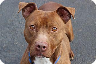 Pit Bull Terrier Mix Dog for adoption in Port Washington, New York - Killian